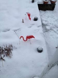 Flamingos. In Massachusetts.  Seriously?